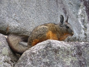 Kangaroo Squirrel